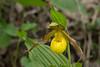 Yellow lady's slipper (<I>Cypripedium parviflorum</I>) G. Richard Thompson Wildlife Management Area, Fauquier County, VA
