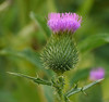 "Bull thistle (<i>Cirsium vulgare</i>) at Hughes Hollow <span class=""nonNative"">[non-native]</span> McKee-Beshers Wildlife Mgt Area, Poolesville, MD"
