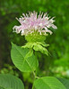 Wild bergamot (<I>Monarda fistulosa</I>) in late spring Woodend Sanctuary, Chevy Chase, MD