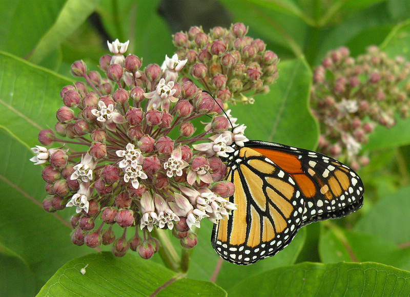 Male monarch (<i>Danaus plexippus</i>) on common milkweed (<i>Asclepias syriaca</i>) in early summer Woodend Sanctuary, Chevy Chase, MD