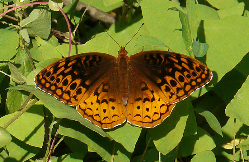 "Great spangled fritillary in mile-a-minute <span class=""nonNative"">[non-native invasive vine]</span> Rachel Carson Conservation Park, Brookeville, MD"