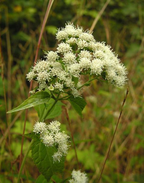 Late-flowering boneset (<I>Eupatorium serotinum</I>) ? Mill Grove, Audubon, PA