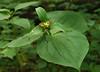 Large-flowered trillium (Trillium grandiflorum) in fruit<br /> G. Richard Thompson Wildlife Mgt. Area, Fauquier County, VA