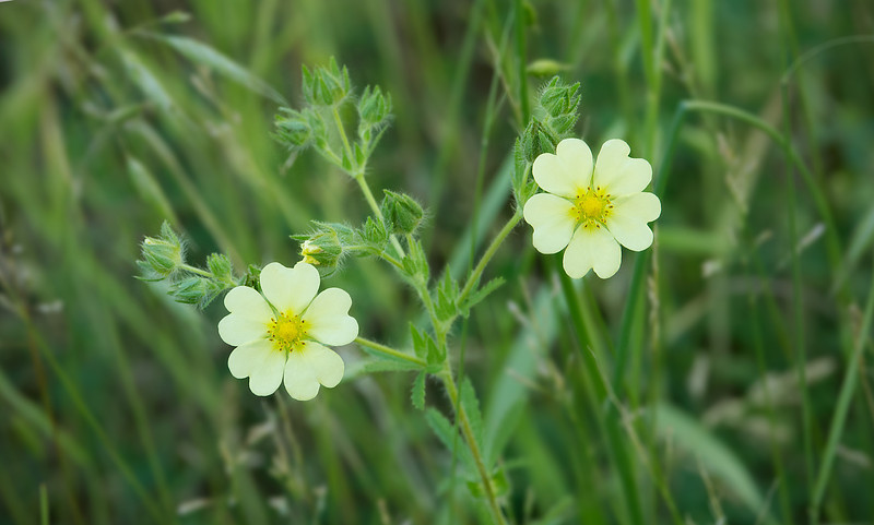 "Sulphur cinquefoil, <i>aka</i> Rough-fruited cinquefoil (<i>Potentilla recta</i>) <span class=""nonNative"">[Non-native]</span> C&amp;O Canal Nat'l Historical Park - Great Falls, Western Montgomery County, MD"