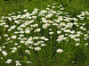 "Field of Oxeye daisies (<i>Leucanthemum vulgare</i>) <span class=""nonNative"">(non-native, naturalized)</span> Fort Hill, Cape Cod, MA"