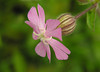 Red/white hybrid campion (<I>S. dioica × S. latifolia</I>) Fort Hill, Cape Cod, MA