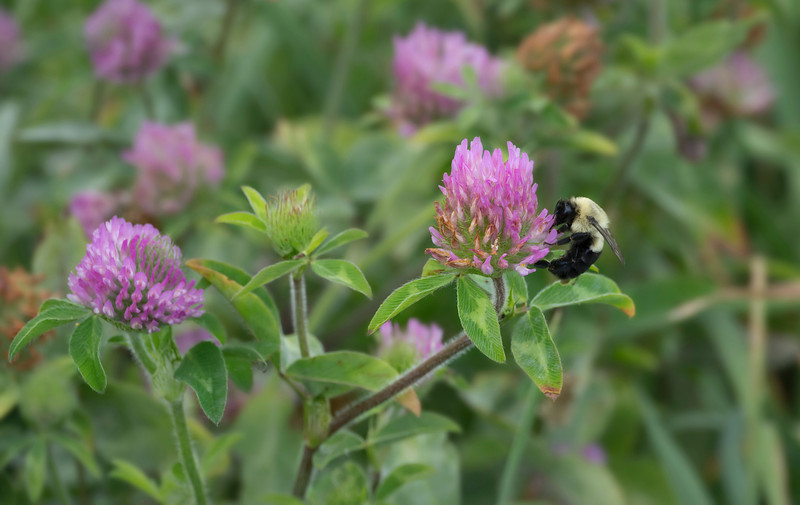 """Bumble bee (<i>Bombus</i> sp.) on red clover <span class=""""nonNative"""">[non-native]</span> Catoctin Mountain Nat'l Park, Frederick County, MD"""