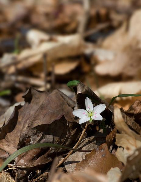 First spring beauty (<I>Claytonia virginica</I>) of the season Dora Kelley Nature Park, Alexandria, VA