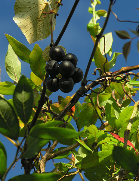 Fragrant & luscious Northern fox grapes (<I>Vitis labrusca</I>)  Callery-Darling Conservation Area, Yarmouth, Cape Cod, MA
