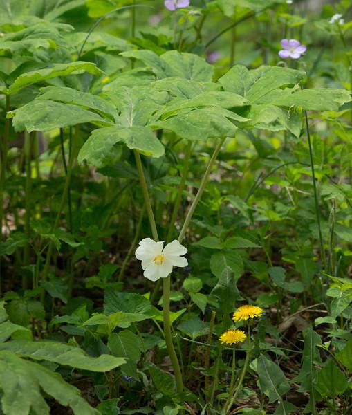 Mayapple (<I>Podophyllum peltatum</I>) among geranium & dandelion G. Richard Thompson Wildlife Management Area, Fauquier County, VA