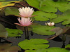 Fragrant waterlilies (<I>Nymphaea odorata</I>) in Little Seneca Lake Black Hill Regional Park, Boyds, MD
