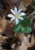 Bloodroot (<I>Sanguinaria canadensis</I>) Riverbend Park, Great Falls, VA