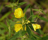 Sundrops (<I>Oenothera fruticosa</I>) Mason Farm Biological Reserve, Chapel Hill, NC