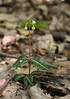 Spotted wintergreen (<I>Chimaphila maculata</I>) with flower buds Sugarloaf Mountain, Frederick County, MD