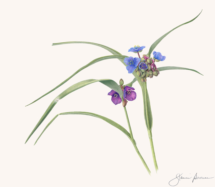 """<i>Virginia Spiderwort</i>  (2019) - private collection Colored pencil on matte film - 13"""" x 15"""" Exhibited at """"<a href=""""https://www.basncr.org/Exhibit-Galleries/All-in-a-Garden-Green/"""" target=""""_blank""""><i>All in a Garden Green</i></a>"""", August-October 2019, Green Spring Gardens, Alexandria, Virginia <a href=""""http://files.janicebrowne.com/Artist_Statement_Janice_Browne_Spiderwort.pdf"""" target=""""_blank"""">Artist Statement</a> <img src=""""https://photos.smugmug.com/photos/i-phRrJPm/0/O/i-phRrJPm.gif"""">"""