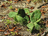 Eastern prickly pear cactus (likely <i>Opuntia humifusa</i>) Spruce Hill Conservation Area, Brewster, Cape Cod, MA