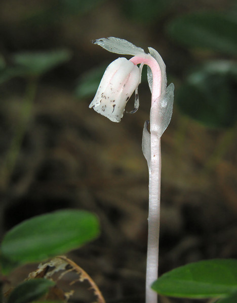 Indian pipe  (<i>Monotropa uniflora</i>) flower Parasitic on fungi which are mycorrhizal with trees (mycoheterotroph) Bell's Neck Conservation Area, Harwich, Cape Cod, MA