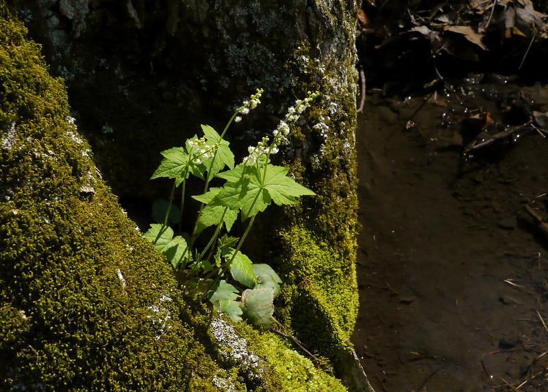 Twoleaf mitrewort (<I>Mitella diphylla</I>) along Big Hunting Creek Cunningham Falls State Park, Frederick County, MD