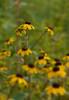 Black-eyed Susan (<I>Rudbeckia hirta</I> var. <I>pulcherrima</I>) at Hughes Hollow McKee-Beshers Wildlife Mgt Area, Poolesville, MD