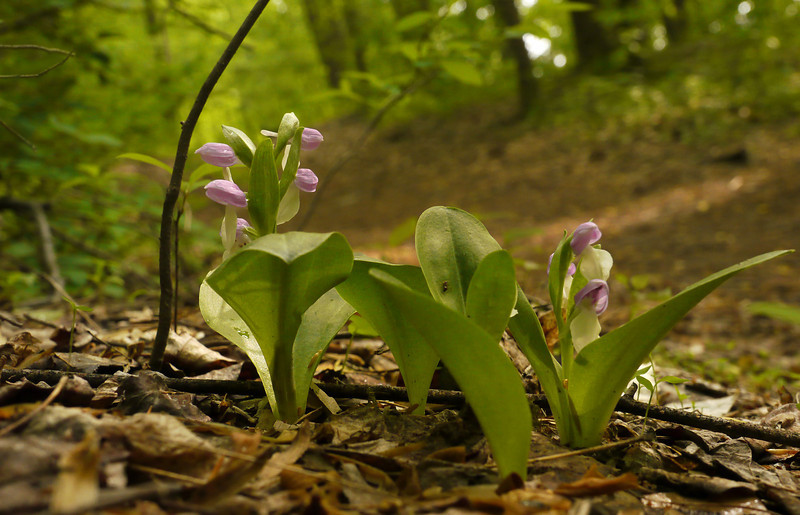Showy orchis (<I>Galearis spectabilis</I>) Wheaton Regional Park, Montgomery County, MD