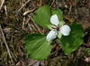 "Nodding trillium (<I>Trillium cernuum</I>) in Biltmore natives garden <span class=""nonNative"">[garden planting]</span> Asheville, NC"