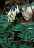 Dutchman's breeches (<i>Dicentra cucullaria</i>) C&amp;O Canal Nat'l Historical Park - Carderock Recreation Area, Western Montgomery County, MD
