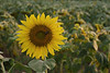 "Sunflower field (<i>Helianthus annuus</i>) <span class=""nonNative"">[non-native, crop planting]</span> McKee-Beshers Wildlife Mgt Area, Poolesville, MD"