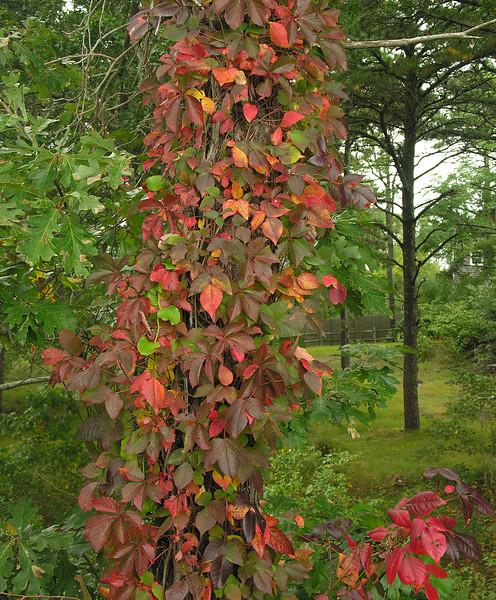Virginia creeper (<I>Parthenocissus quinquefolia</I>) & poison ivy (<I>Toxicodendron radicans</I>) in autumn along rail trail Cape Cod, MA
