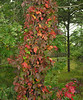Virginia creeper (<I>Parthenocissus quinquefolia</I>) & poison ivy (<I>Toxicodendron radicans</I>) in autumn along rail trail Cape Cod, MA