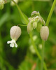 Bladder campion (<I>Silene vulgaris</I>) Fort Hill, Cape Cod, MA