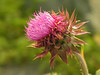 """Nodding thistle (<i>Carduus nutans</i>) <span class=""""nonNative"""">[non-native]</span> Cunningham Falls State Park, Frederick County, MD"""