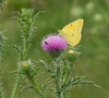 Orange sulphur (<I>Colias eurytheme</I>) on field thistle (<I>Cirsium discolor</I>) Southern Frederick County, MD