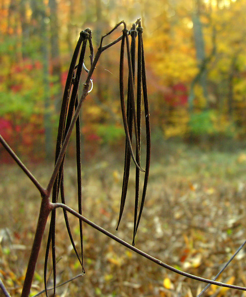 Dogbane follicles (<I>Apocynum cannabinum</I>) in autumn Woodend Sanctuary, Chevy Chase, MD