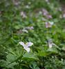 Large-flowered trillium (<I>Trillium grandiflorum</I>), one among many G. Richard Thompson Wildlife Management Area, Fauquier County, VA