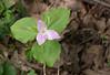 Large-flowered trillium (<I>Trillium grandiflorum</I>) G. Richard Thompson Wildlife Management Area, Fauquier County, VA