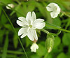 White campion (<i>Silene latifolia</i>) Fort Hill, Cape Cod, MA