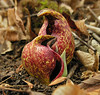 Skunk cabbage spathe (flowers inside) along Bear Creek<br /> Barnesville, MD
