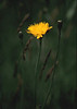 Hawkweed<br /> Fort Hill, Cape Cod, MA