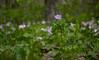 Wild geranium (<I>Geranium maculatum</I>) among trillium G. Richard Thompson Wildlife Management Area, Fauquier County, VA