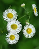 Common fleabane (<I>Erigeron philadelphicus</I>) White Clay Creek State Park, Newark, DE