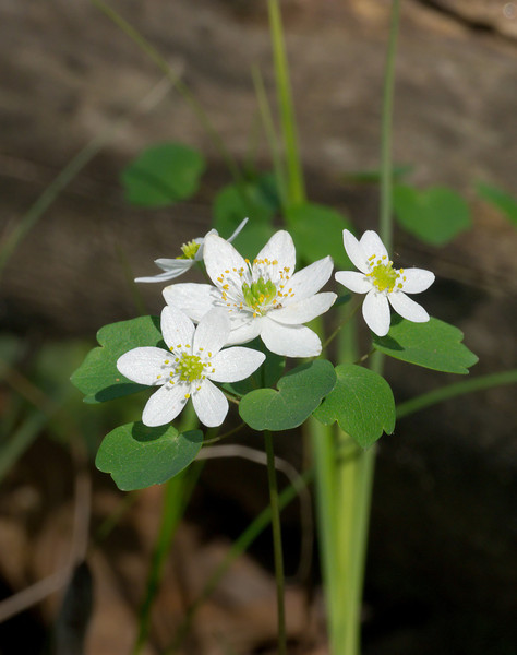 Rue anemone (<I>Thalictrum thalictroides</I>) Wheaton Regional Park, Wheaton, MD