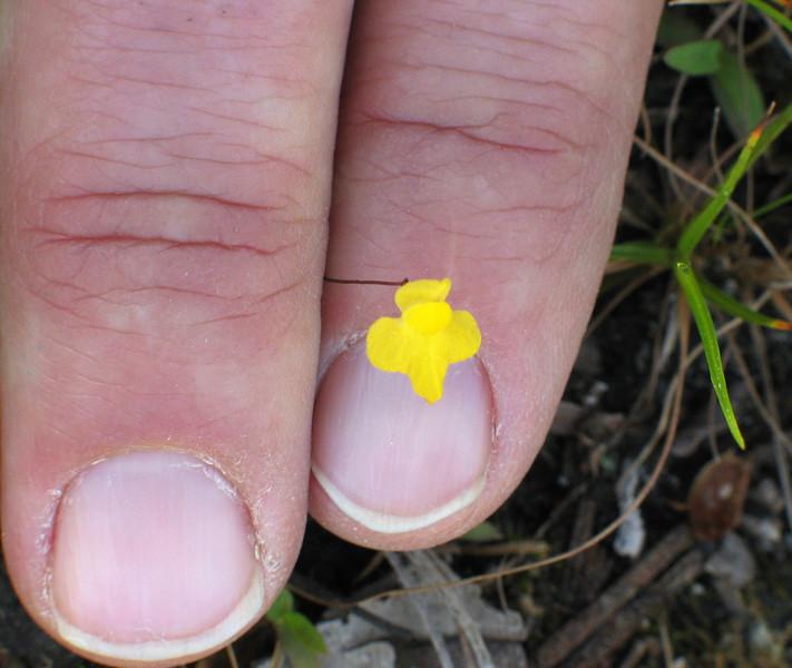 Zigzag bladderwort (<I>Utricularia subulata</I>)? - terrestrial, carnivorous Holly Shelter Game Land, Pender County, NC