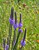 Hoary vervain (<I>Verbena stricta</I>) Middleton, WI