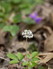 Dwarf ginseng (<I>Panax trifolius</I>) Wheaton Regional Park, Wheaton, MD