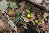 Early autumn forest floor: spotted wintergreen (<I>Chimaphila maculata</I>), leaves, and acorns Rock Creek Park, Washington, DC