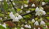 """Carolina silverbell (<i>Halesia tetraptera</i>) in spring <span class=""""nonNative"""">[native in garden planting]</span> Woodend Sanctuary, Chevy Chase, MD"""