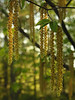 "Hophornbeam (<i>Ostrya virginiana</i>) male flowers (catkins) in spring <span class=""nonNative"">[native in garden planting]</span> Woodend Sanctuary, Chevy Chase, MD"