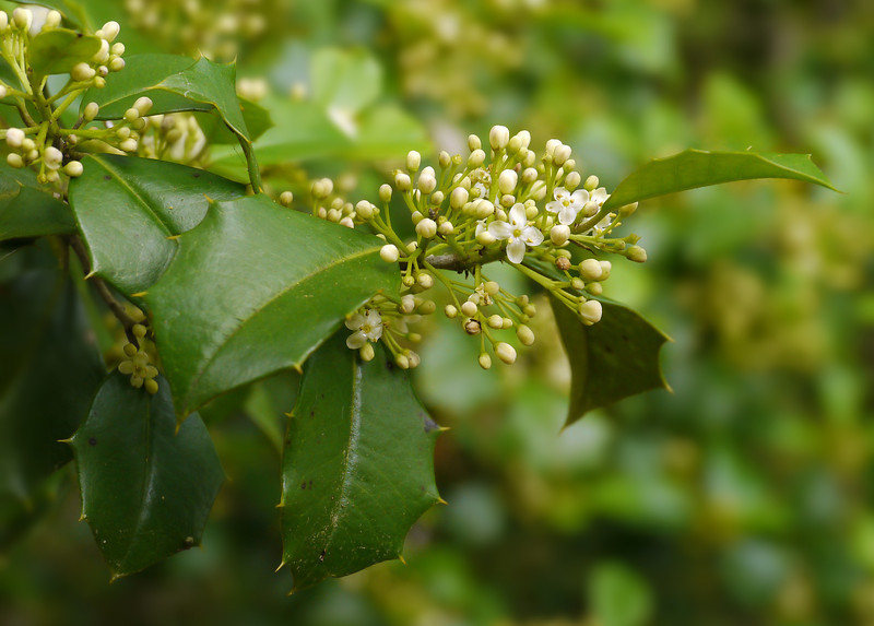 Holly in flower (male) (<I>Ilex opaca</I>) along Potomac floodplain Leesylvania State Park, Prince William County, VA