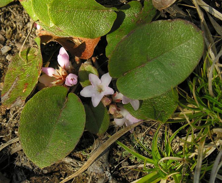 Trailing arbutus (<I>Epigaea repens</I>) along Peninsula trail Ivy Creek Natural Area, Charlottesville, VA