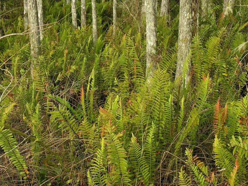 Ferns and cypress<br /> Corkscrew Swamp Sanctuary, FL